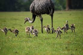 Rheas-babies