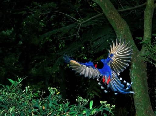 taiwan-blue-magpie-4