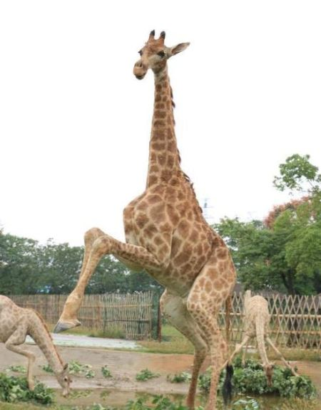 dead-giraffes-03_zpsywgtquzu